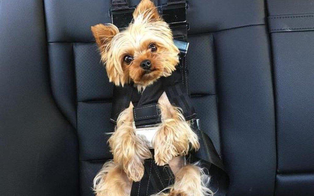 une nouvelle ceinture pour chien fait r agir guide auto. Black Bedroom Furniture Sets. Home Design Ideas